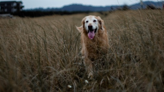 golden-retriever-2550625_1920