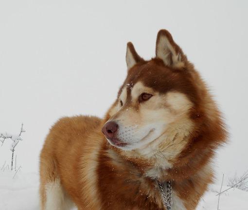siberian-husky-2467717_1920