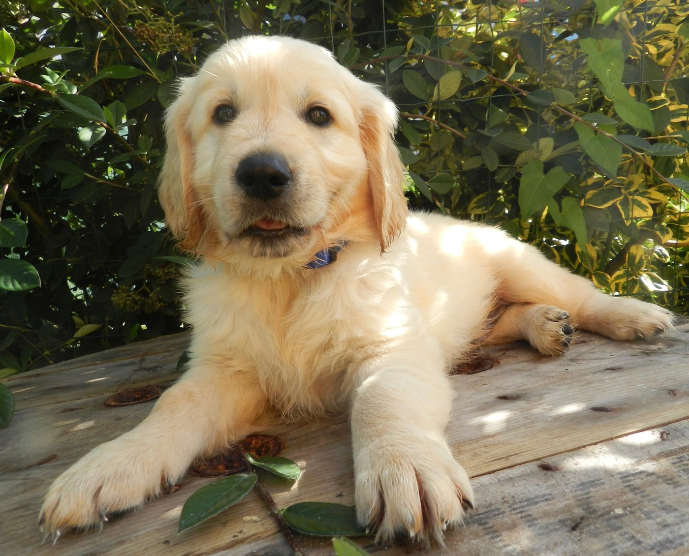 Puppies for Sale in Iowa – Dog's of Des Moines